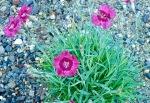 Dianthus 'Dark Pink