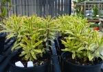 Euphorbia 'Rainbow Ascot'