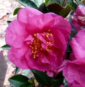 Camellia sasanqua 'Alabama Beauty'
