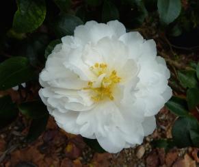 Camellia sasanqua 'Mine-No-Yuki'