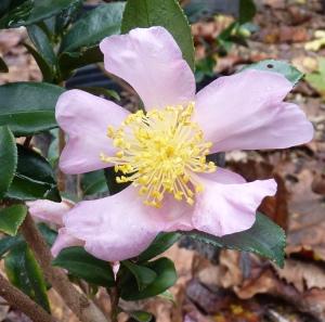 Camellia x 'Winter Star'