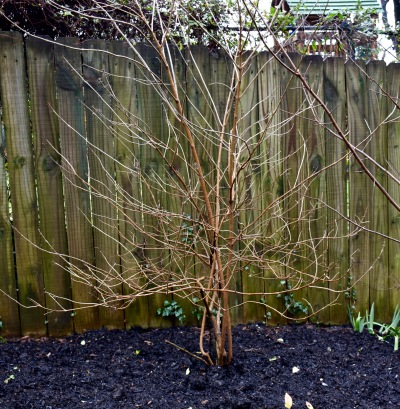 With its tangled branches and density of twigs, this Callicarpa americana is in sad need of pruning.