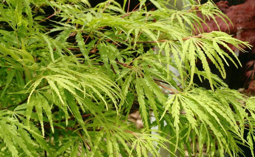 Acer.shirasawanum.Palmatifolium