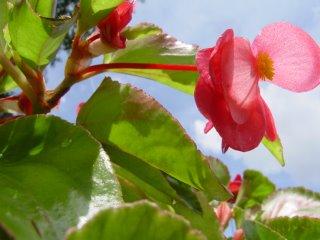 Begonia.Angelwing