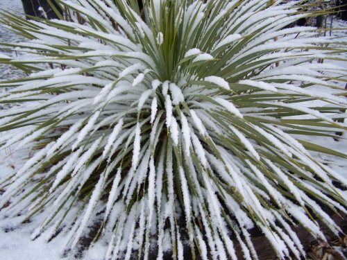 yucca-rostrata-in-snow